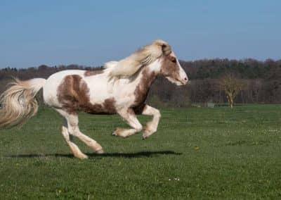 Helles Pferd