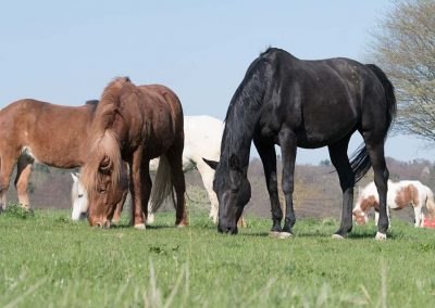 Pferde die grasen