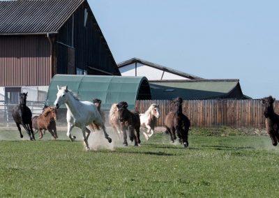 Rennende Pferde